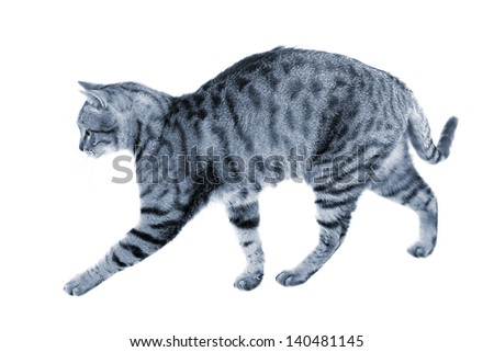 Silver blue striped cat practicing hunting walk (isolated over white) - stock photo