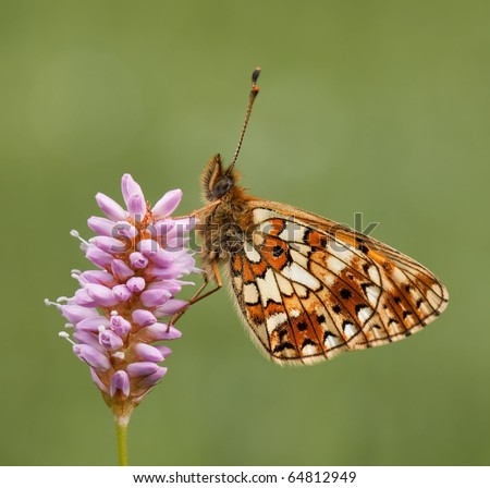Silver-bordered Fritillary Butterfly(Boloria selene) sitting on a pink flower (Persicaria bistorta)i n the evening sun with a great background