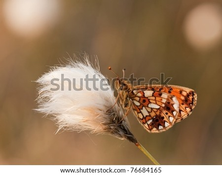 Silver-bordered Fritillary Butterfly(Boloria selene) sitting on Eriophorum angustifolium(Common Cottongrass)