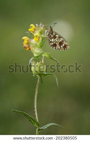 Silver bordered fritillary sitting on a beautiful flower - stock photo