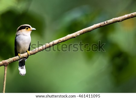 Silver-breasted Broadbill (Serilophus lunatus) bird on nature background