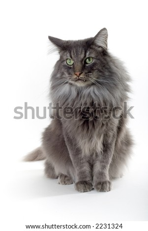silver brown norwegian forest cat with green eyes - stock photo