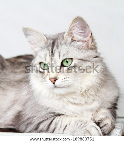 silver cat, female adult of siberian breed - stock photo