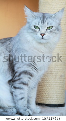 silver cat of siberian race, female