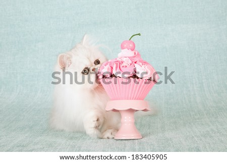 Silver Chinchilla kitten biting into giant cupcake on pink cupcake stand on light blue green background  - stock photo