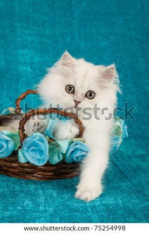 Silver Chinchilla kitten in blue green teal basket - stock photo