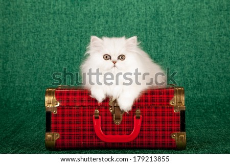 Silver Chinchilla kitten lying on red tartan suitcase luggage against green background