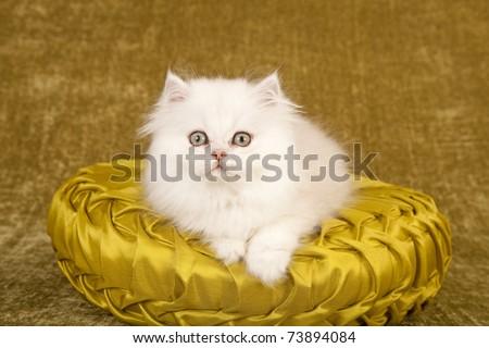 Silver Chinchilla kitten on green cushion - stock photo