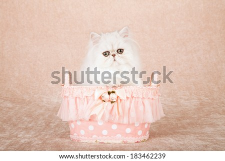 Silver Chinchilla kitten sitting inside frilly peach colored polka dot basket on beige background