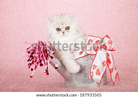 Silver Chinchilla kitten sitting inside silver watering can with heart printed ribbon bow and pink red hearts pouring out of spout, on pink background  - stock photo