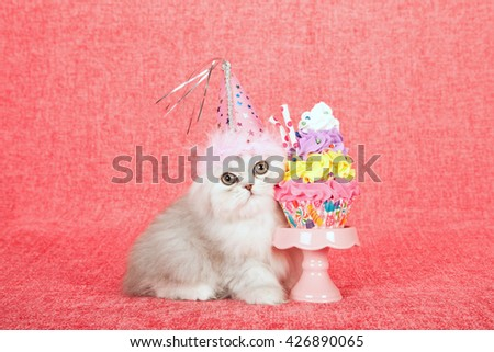 Silver Chinchilla kitten wearing birthday hat with fake cupcake on miniature cupcake stand on bright pink background  - stock photo