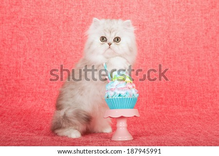 Silver Chinchilla kitten with cupcake on cupcake stand on bright pink background  - stock photo