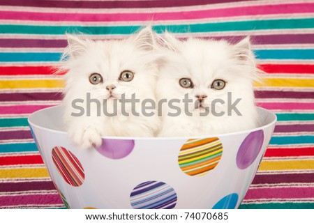 Silver Chinchilla kittens in colorful bowl on striped background - stock photo