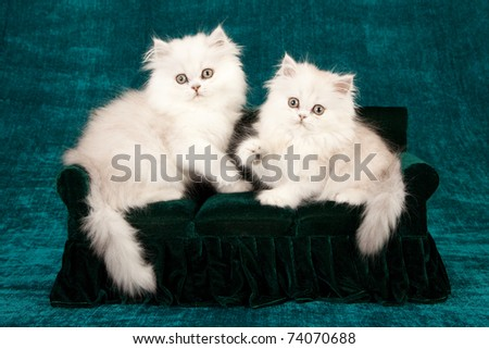 Silver Chinchilla kittens on miniature couch sofa chaise chair - stock photo
