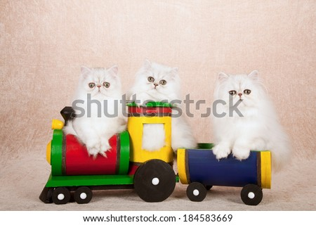 Silver Chinchilla kittens sitting inside colorful toy locomotive and train wagon on beige background   - stock photo