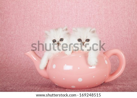 Silver Chinchilla kittens sitting inside large oversize pink tea pot on pink background