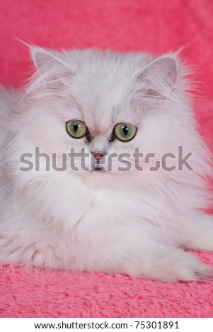 Silver chinchilla persian cat on pink background