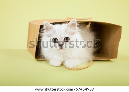 Silver Chinchilla Persian hiding in brown paper bag on green background - stock photo