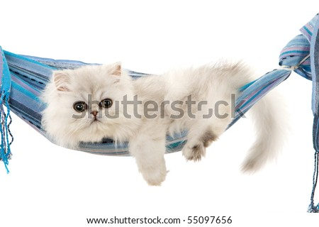 Silver Chinchilla Persian kitten in blue sling on white background - stock photo