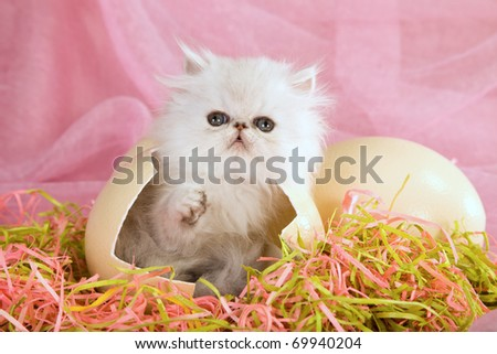 Silver Chinchilla Persian kitten inside cracked ostrich easter egg - stock photo