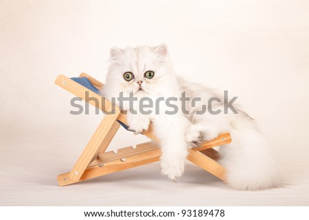 Silver Chinchilla Persian kitten lying on miniature deckchair on mottled cream background canvas - stock photo