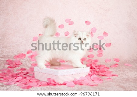 Silver Chinchilla Persian kitten on gift box with pink rose petals on pink background