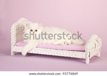 Silver Chinchilla Persian kitten on miniature white wicker bed on lavender background - stock photo