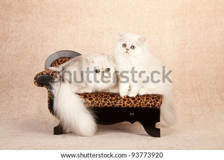 Silver Chinchilla Persian kitten sitting on leopard print couch on beige background - stock photo