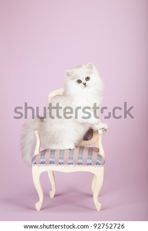 Silver Chinchilla Persian kitten standing on striped pink chair on lavender background