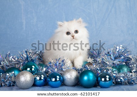 Silver Chinchilla Persian kitten with silver blue Christmas decorations - stock photo