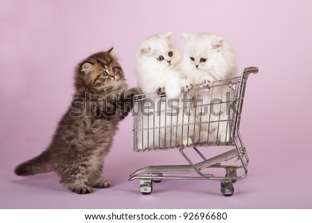 Silver Chinchilla Persian kittens in colorful pots on lavender background - stock photo