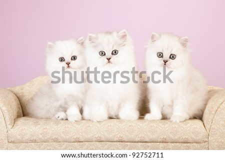 Silver Chinchilla Persian kittens on cream sofa on lavender background - stock photo