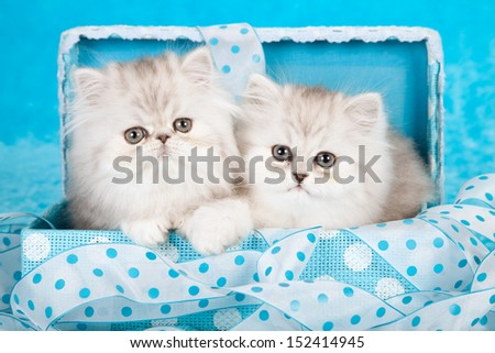 Silver Chinchilla Persian kittens sitting in blue gift box with ribbon on blue background - stock photo