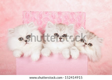 Silver Chinchilla Persian kittens sitting in pink gift box on pink background - stock photo