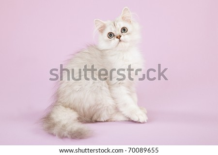 Silver Chinchilla sitting on pink background