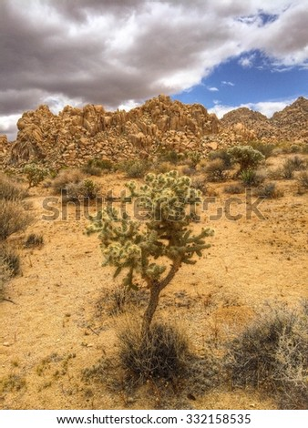 Silver Cholla cactus (Cylindropuntia echinocarpa) plant at Joshua Tree National Park, California USA - stock photo