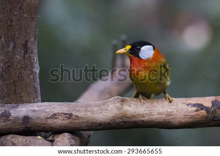 Silver-eared Mesia Bird with Blur Green Background