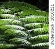 Silver fern leaves in the sunlight. Silver ferns are the origin of the New Zealand emblem, used by Maori for forest tracking. - stock photo