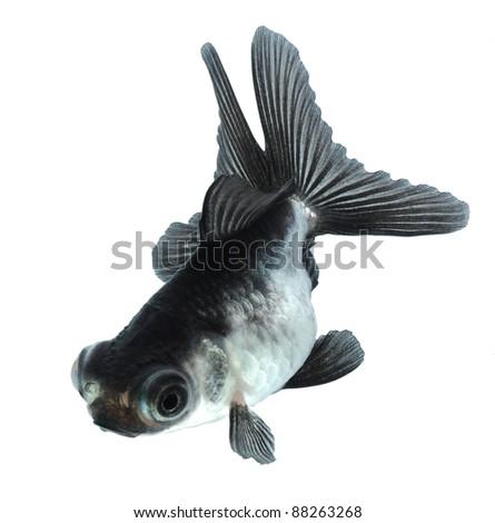 silver goldfish isolated on white background - stock photo
