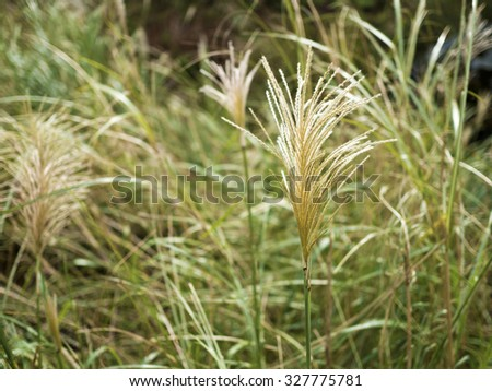 Silver Grass blossoms (miscanthus) in the mountains
