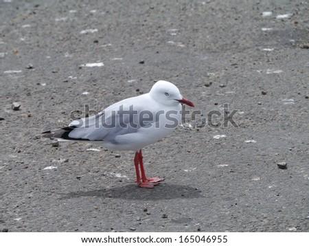 Silver gull (larus novaehollandiae) - stock photo