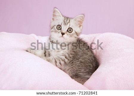Silver mackerel tabby kitten sitting on pink lilac background fabric