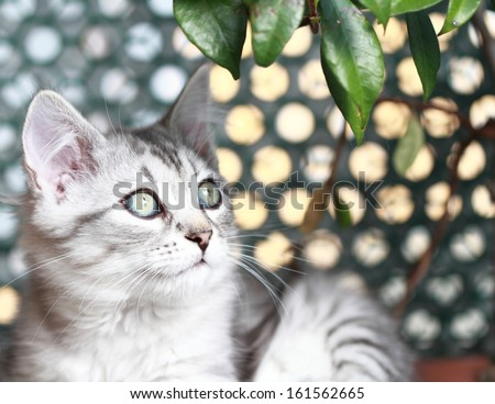 silver puppy of siberian cat at three months