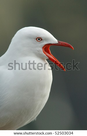 Silver (Red-billed) Gull calling in New Zealand