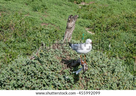 Silver sea gull standing on a branch in the green coastal dune plants at Penguin Island in Western Australia/Isolated Sea Gull/Penguin Island, Rockingham, Western Australia - stock photo