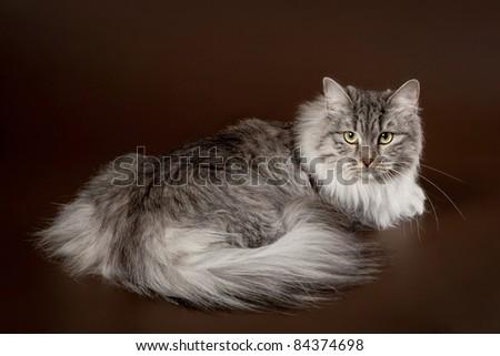 Silver siberian cat on dark brown background - stock photo