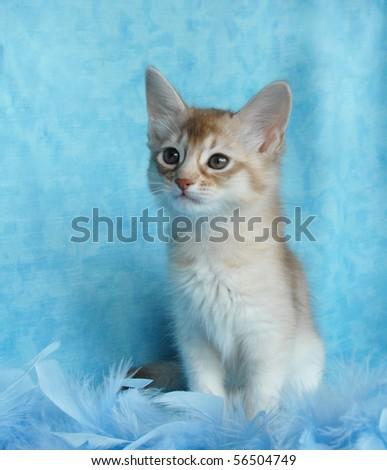 silver sorrel somali kitten amongst blue feathers - stock photo