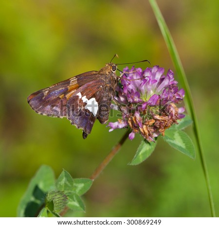 Silver-spotted Skipper (Epargyreus clarus) nectaring on Red Clover - stock photo