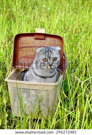 Silver tabby Breed Scottish Fold Cat in basket on green grass outdoors - stock photo