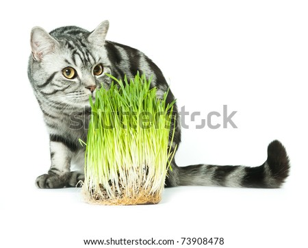 Silver tabby british cat looking at spring grass isolated in the white background - stock photo